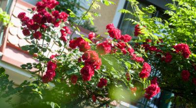 weinlandhof-garten-rosen-impressionen